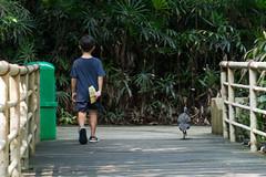 DSC_0064 (danchua) Tags: walk guineafowl helmeted