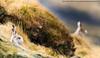 The Watchers (markrellison) Tags: winter wild white animal mammal hare northwest unitedkingdom wildlife peakdistrict f10 wintercoat stretching iso1600 lightroom 600mm 1320sec mountainhare lepustimidus lrcc canoneos1dmarkiv ef300mmf28lisusm2x lightroomcc