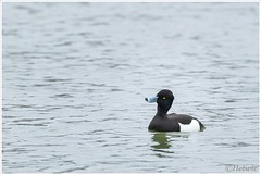nieuwsgierig eendje (HP008722) (Hetwie) Tags: bird duck nederland waterbird lente eend vijver noordbrabant helmond watervogel wijkpark brouwhuis kuifeendje