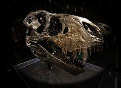 """T-Rex """"Tristan"""" (PLADIR) Tags: berlin museum tristan skull dino dinosaur sony bones trex ausstellung zhne tyrannosaurus tyrannosaurusrex dinos dinosaurier dinosaurio dinosaure skelett knochen schdel naturkundemuseum sonya57 slta57"""