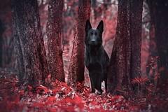 Blood Forest Spirit (DigitalBite) Tags: red dog black animal forest blood dogphotography germanshepherddog kosmaj blackgsd