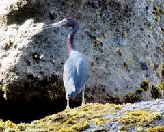 Zoolander in reverse (oobwoodman) Tags: heron caribbean stlucia zoolander bluesteel carabes westindies karibik saintlucia