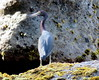 Zoolander in reverse (oobwoodman) Tags: heron caribbean stlucia zoolander bluesteel caraïbes westindies karibik saintlucia