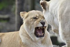 White lions (gondamilan) Tags: white nikon lion d750 80400mm f4556