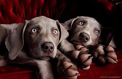Why are you waking us up?? (Jen St. Louis) Tags: pets ontario canada dogs puppy studio puppies elmira weimaraner pawprints weimaraners dogphotography petportrait petphotography dogportrait nikon2470 nikond750 wwwpawprintsphotosca
