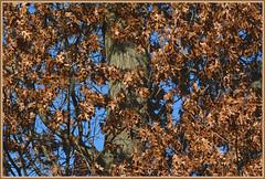     Red Oak Cluster     (Wolverine09J ~ 1 Million + Views) Tags: tree flora redoak amazingnature thebeautyofnature naturestyle forestwandernaturephotographyexcellence redlevelno1 naturespoetry~level1 marchmadmoments oakenperspective