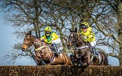 Neck and Neck (tom ballard2009) Tags: horses horse sport yellow fence sussex jump racing riding jockey parham pointtopoint crawleyhorshamhunt
