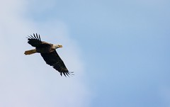 First Eagle with Sigma 150-600mm C (cwhitted) Tags: canon eos eagle baldeagle sigma birdofprey bynum hawriver chathamcounty canoneos400d canoneosdigitalrebelxti bynumbridge sigma150600mm sigma150600mmf563dgoshsmcontemporary sigma150600mmcontemporary sigma150600mmf563dgoshsmc