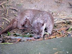 European otter (ekenitr) Tags: zoo blijdorp otter dierentuin europeanotter visotter blijdorprotterdam ekenitr