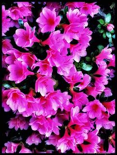 Azaleas Flowers My Yard