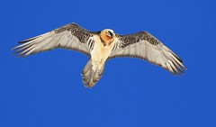 Gypaète barbu - Gemmipass/Leukerbad/Valais/CH_20160310_3477 (Patrick Monney) Tags: inexplore gypaètebarbu gypaetusbarbatus beardedvulture gypaète vulture vautour charognard rapace raptor oiseau bird oiseauxdesuisse birdsofswitzerland swissalps alpes oiseauxdesalpes birdinflight birdsinflight raptorinflight rapaceenvol accipitridés accipitridae gypaetinés gypaetinae faunedesalpes faunealpestre alpfauna wildlife faunesauvage quebrantahuesos bartgeier бородач swissfauna faunedesuisse vogel vögelausderschweiz gemmi loèchelesbains leukerbad valais cantonduvalais wallis animalplanet