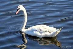 Swan #2 (leaking_light) Tags: northbank manchestershipcanal irlam nikond3100