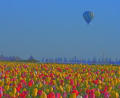 Above it all (Kirt Edblom) Tags: flowers blue red usa plant flower color colors field yellow festival oregon balloons landscape outdoors spring nikon tulips bright blossom outdoor balloon scenic bluesky tulip bloom april wife serene hdr springtime tulipfestival woodburn kirt 2016 woodenshoetulipfestival willamettevalley gaylene woodburnoregon easyhdr edblom nikond7100 spring2016 woodenshoefarms kirtedblom