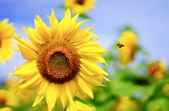 (ss9988772008) Tags: bee sunflower