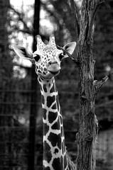 Giraffe I (christiane.grosskopf) Tags: animal zoo giraffe captive tier wilhelmastuttgart nikond7000