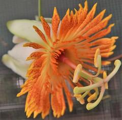 Passiflora pittieri (A Botanical Wonderland) Tags: orange white flower tree yellow botanical woody vine passion bloom passiflora wonderland liana tendrils maracuja pittieri botanicalwonderland astrophea