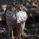 Sparrowhawk in garden