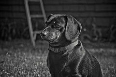 Daisy the Dachshund (Simply Angle) Tags: bw pet white black animal outdoors blackwhite spring sony dachshund daisy loyal dasiy a7ii deerparkwa chewelahwa sonyphotographing sonyphotography canonfd100mmf4macro sonycanon sonya7ii ilce7m2 daisythedachshund