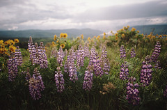 the brief bloom of a wildflower (manyfires) Tags: flowers film oregon analog 35mm landscape spring blossom hiking hike nikonf100 bloom pacificnorthwest gorge wildflowers pnw lupine columbiarivergorge balsamroot rowenacrest floralscape