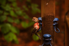 Finch time (3) (tommaync) Tags: bird nature animal nc nikon wildlife northcarolina feeder finch april chathamcounty 2016 d40