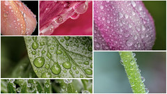 passing time on a rainy saturday (BGantenbein 3.5) Tags: flower color macro rain collage drops spring tulip droplet