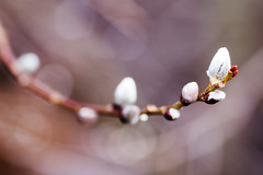 Catkin (Maxi Winter) Tags: plants nature fleurs plante spring weide bokeh natur blossoms pflanze willow twig 90mm printemps frhling blten catkins branche weidenktzchen saule zweig chatondesaule