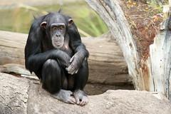 Chimpanzé (olivier.ghettem) Tags: africa valencia monkey spain ape espagne primate valence primates afrique singe chimpanzé afriqueéquatoriale bioparcvalencia
