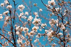 Spring (T?M) Tags: paris canon 50mm spring mark jardin des explore ii 5d cerisier plantes