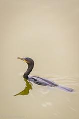 Carmoran Yeco (Phalacrocorax Brasilianus Brasilianus) (Seba Silva) Tags: chile bird nature animal minolta sony ave laguna alpha cartagena yeco a57 humedal quintaregion phalacrocoraxbrasilianusbrasilianus sebastinsilva 55300mm carmoran sal55300 sebaogalde
