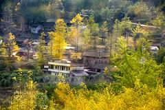 Ginkgo village (MelindaChan ^..^) Tags: china autumn tree fall yellow rural countryside leaf ginkgo village guilin mel fallen melinda guangxi   chanmelmel melindachan