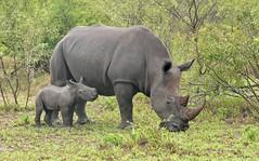 White Rhino and calf. (Bob Eade) Tags: baby southafrica safari calf krugerpark gamedrive whiterhino nikond610