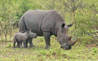 White Rhino and calf.