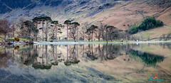 Buttermere Pines Reflections (Dave Massey Photography) Tags: trees lake reflection pine lakedistrict cumbria buttermere