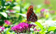 Sunshine, Butterfly and Flowers 1 of 3 (Kaptured by Kala) Tags: flowers butterfly bug insect dentist orangebutterfly dentaloffice pentas gulffritillary agraulisvanillae garlandtexas pentassp