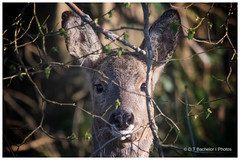 Roe deer (deannno) Tags: hampshire roedeer thenewforest canoneos7dmark2