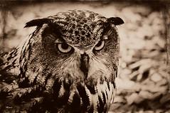 Whooo (MEaves) Tags: bird nature raptor owl predator toned avian textured wbs