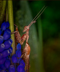In the Shadow of the Forest (kathybaca) Tags: world flowers trees strange animal forest insect earth insects bugs explore predator creatures tropics prayingmantis blend aphids preyingmantis hature