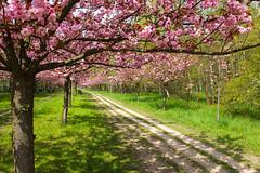 Kirschbltenallee Mauerweg Berlin/Teltow (3) (Lens Daemmi) Tags: berlin de cherry deutschland blossom hanami kirschblte teltow mauerweg kirschbltenallee