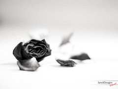 The Rose (Photography from the soul) Tags: blackandwhite rose gritty final dying tonal