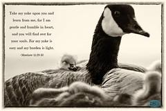 0414 IMG_9351 (JRmanNn) Tags: geese paradise lasvegas canadian gosling sunsetpark