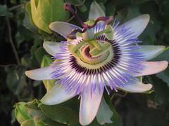 Passiflora (Teaurquoise) Tags: flower purple blossom outdoor passiflora timeless macedonian makedonia  macedoniagreece