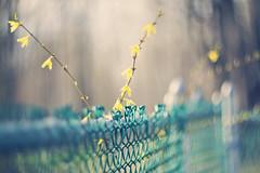 """Choose to be optimistic, it feels better.""  ~Dalai Lama (Sandra H-K) Tags: fence outside outdoors spring dof bokeh depthoffield forsythia dreamy springtime helios402 hff fencefriday"
