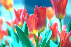 Twins! (gnelg) Tags: shadow nature spring twins colorful tulip ithaca cornelluniversity