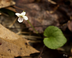 northern white violet (crgillette77) Tags: white spur pennsylvania viola violaceae 5petals wfgna northernwhiteviolet violapallens bradfordcounty