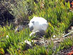 Mam gaviota y sus peques (Carolina_BCN) Tags: barcelona naturaleza birds nest seagull gull bcn aves pjaros gaviotas gabbiano madres larus laridae charadriiformes nidos gaviotines laridos avesdeespaa