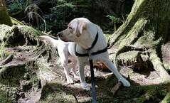 Gracie standing in sun and shade (walneylad) Tags: dog pet cute puppy spring gracie lab labrador canine april labradorretriever