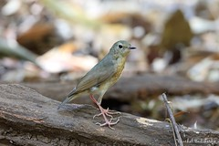 Siberian Blue Robin (female) (Vinchel) Tags: park bird nature animal cat canon is outdoor wildlife vietnam national ii l usm f28 tien 400mm 1dx