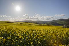 Brightening up (rmrayner) Tags: flowers sky sunshine clouds rural landscape countryside spring bright farming devon crop fieldsofoilseedrapeunderthesun