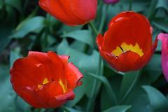 Who's the best? (only_sepp) Tags: red primavera fiori tulipani allaperto allnaturesparadise