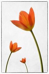 Three times the same (Funchye) Tags: flower nikon tulip 105mm d610